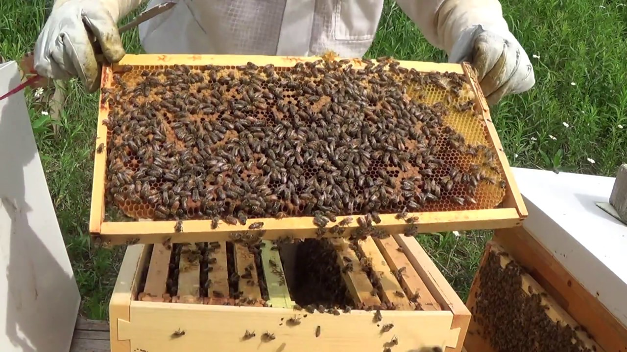 Beekeeping Successful Brood Frame transplant! - YouTube