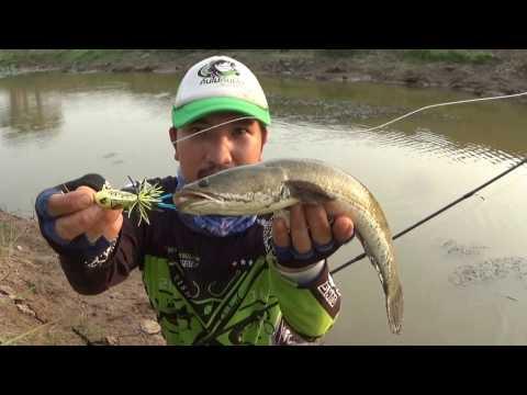 Snakehead fish by Frog jump Thai style ส่ายแก้คันจิ๋ว กัดแบบนี้โดนจนได้