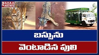 Tiger Chasing Tourist Bus At Nandanvan Jungle Safari In Chhattisgarh Raipur | MAHAA NEWS