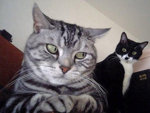 Intenta no morirte de risa 2017, los movies de gatos más graciosos del mundo, Reto nivel  DIOS