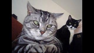 Intenta no morirte de risa 2017, los videos de gatos más graciosos del mundo, Reto nivel  DIOS