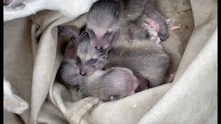 Adorable Baby Raccoons Find A New Home