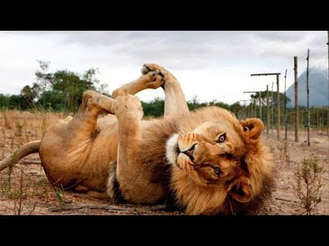 99% CHANCE that these animals will make you LAUGH! – FUNNY animal videos