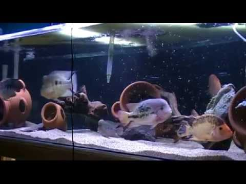 Amphilophus tank is complete
