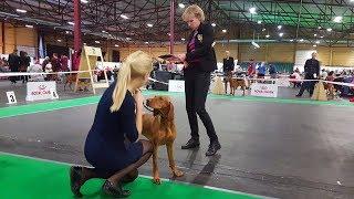 В ринге представлены собаки породы венгерская короткошерстная легав...