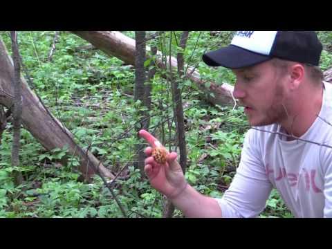 Minnesota Morel Mushrooms