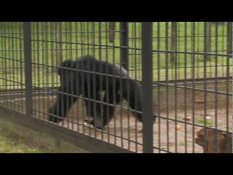 Chimp throws sand at a Gorilla (Camera man) - South Africa Travel Channel 24
