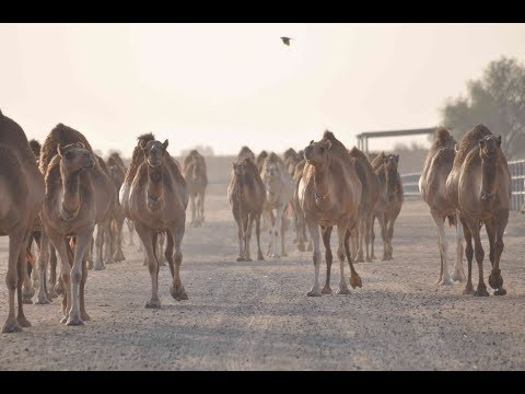 Emirates Industry For Camel Milk And Products