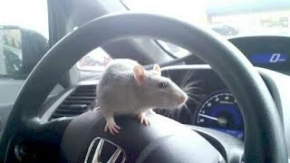 Rats/Mouse IN CAR😯
