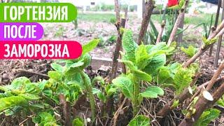 РЕАНИМАЦИЯ Крупнолистной Гортензии После Весенних ЗАМОРОЗКОВ. Мои цветы.