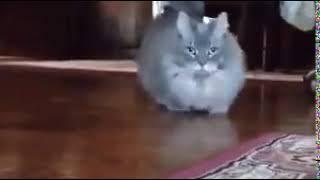 БПАН кот