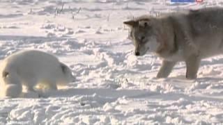 Рейтинг Баженова самые опасные животные России часть 9