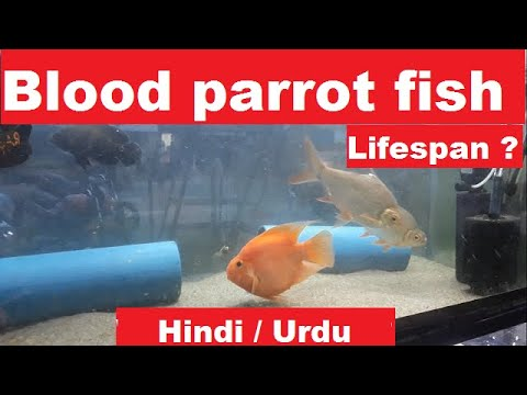 Blood Parrot Cichlid Lifespan ? Blood Parrot Fish Life ?