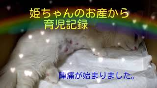 一歳になったばかりのマシュマロちゃんことよびな姫ちゃんに待望の仔猫...