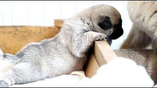 小巴哥抢奶记!为了吃口奶,也是拼了!The cutest Pug puppies fight for the milk