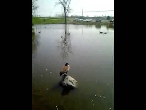 Duck on a rock in Wilmington Ohio @Denver pary