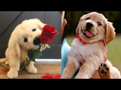 Funny and Cute golden retriever Puppies Compilation #1- Cutest Golden Puppy