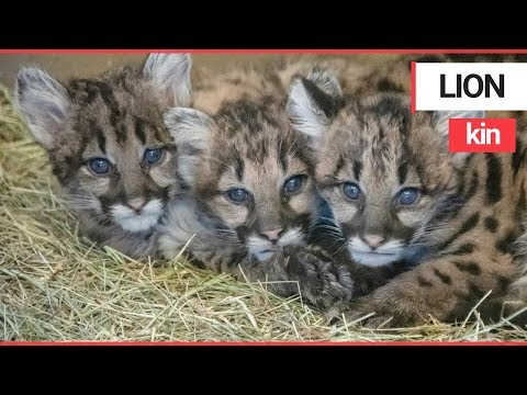 Mountain lion cubs rescued while wandering all alone in a forest | SWNS TV