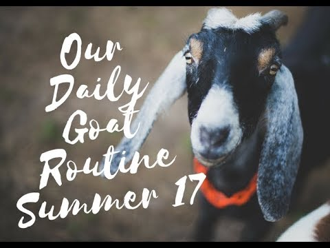 Daily Goat Routine Collab - Summer 2017
