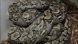 Reptile Reality-Giant python eats man