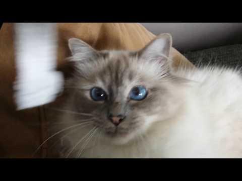 he loves it ... (Birman Cat)