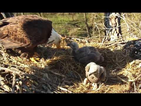 Decorah Eagles 4-26-19, 8:45 am Flyoffs, fish delivery & feeding