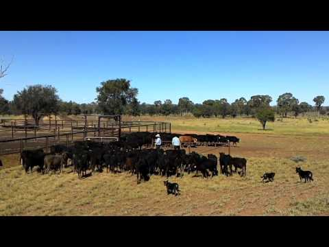 Amazing Working Dogs on Mustering Cattle in Australia