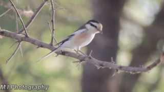Video Masked Shrike Lanius nubicus) download MP3, 3GP, MP4, WEBM, AVI, FLV April 2018