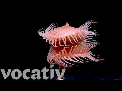 New Species Discovered Underwater By NOAA's Deep-Sea Robot