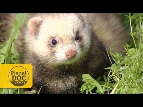 Polecat (Wild Ferret) vs Snake | Express Documentary