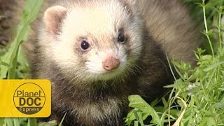 Polecat (Wild Ferret) vs Snake | Express Documentary