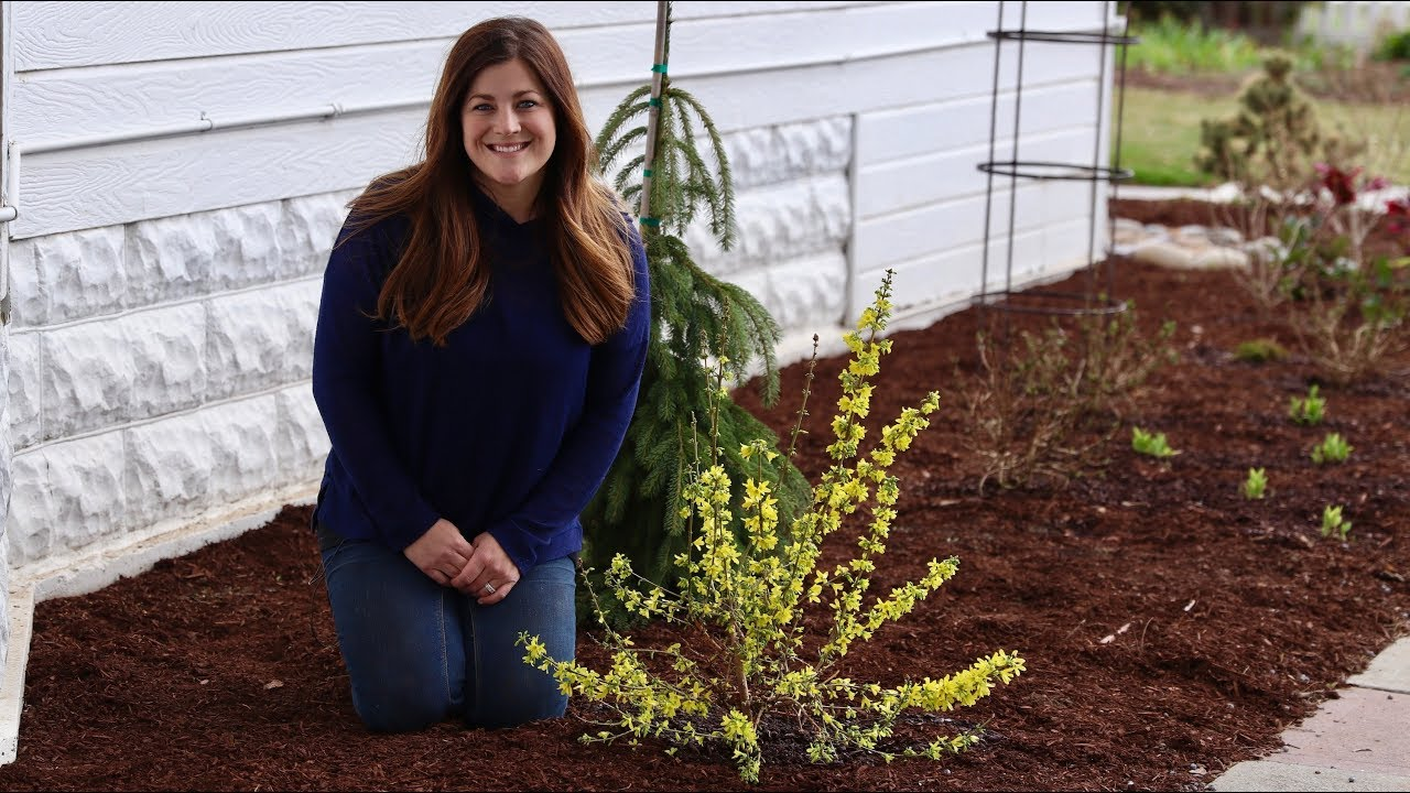 Planting A Show Off Starlet Forsythia Garden Answer