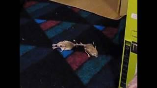 Cute Lesser Egyptian Jerboa Mice Flirting