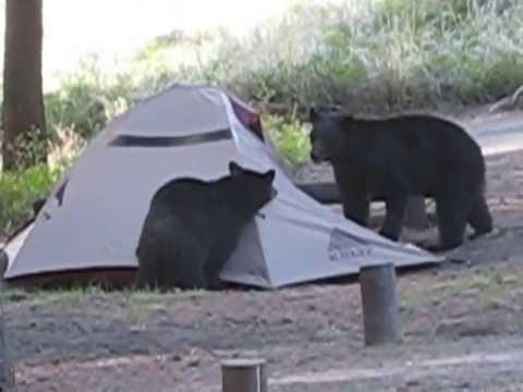 Horny Bears Attack Yellowstone!