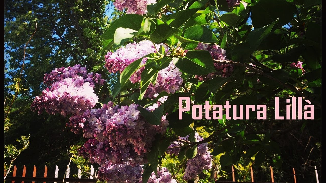 Quando Potare Il Glicine potatura lillà / pruning lilac