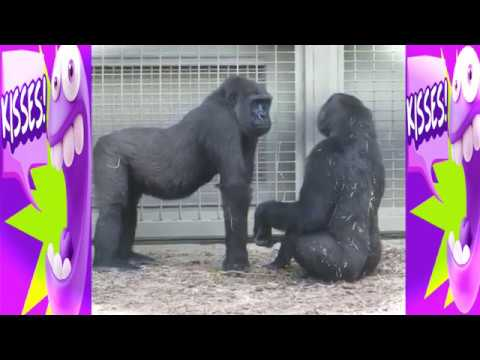 TRY NOT TO LAUGH Or GRIN: FUNNY COUPLE MONKEY DATING 2017