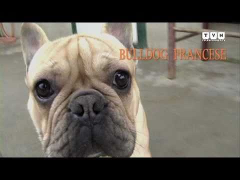 Il Bulldog Francese Youtube