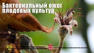 Бактериальный ожог плодовых культур (Erwinia amylovora (Burill.) Winslowetal.)