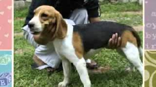 Pride Beagles New Zealand Story!