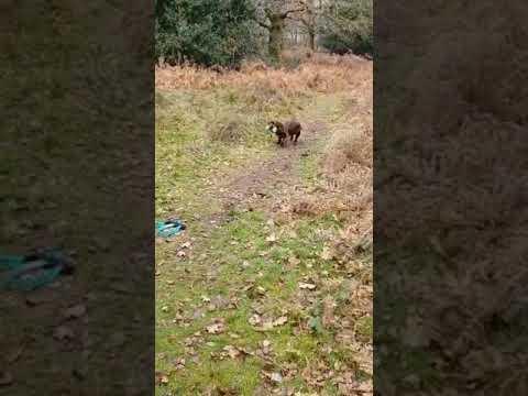 Sussex Spaniel Puppy Retrieving
