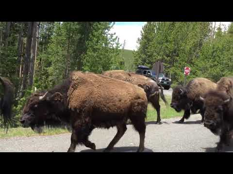 Bison stampede in Yellowstone