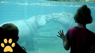 Hippos Kissing