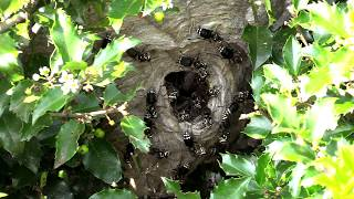 bald-faced-hornet-huge-nest-removal-wasp-nest