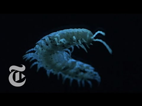 What Glows in the Dark and Dispenses Cyanide? | ScienceTake | The New York Times