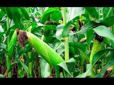 Как вырастить сладкую и крупную кукурузу,затратив минимум труда