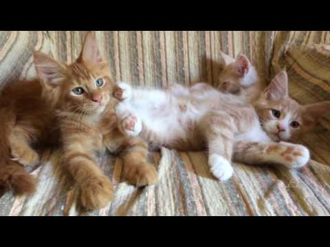 Maine Coon Red Solid and Cream with White Kittens