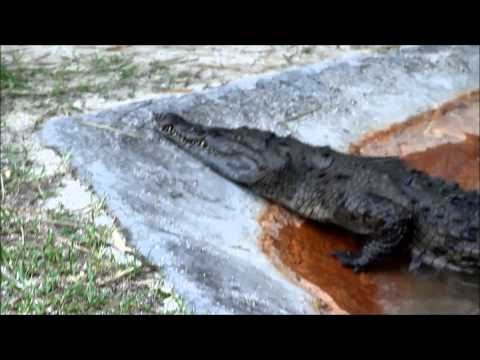 Why I consider our American Crocodile to be the most evil creature we have.