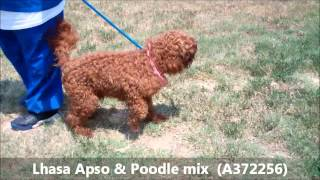 Rescued!!!!!    Gorgeous 8 Mo Old Male Lhasa Apso And Poodle Mix (a372256)