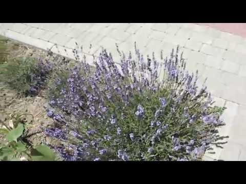 Все о лаванде. Лаванда зацветает в мае.