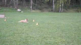 "Cattledog Obedience- Sydney ""rutan"""